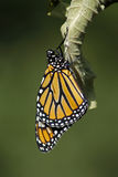 Newly emerged monarch butterfly Stock Image