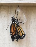 Newly Emerged Monarch Butterfly stock photos