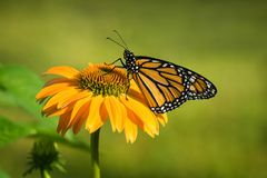 Newly emerged Monarch butterfly on coneflower. Newly emerged male Monarch butterfly Danaus plexippus on yellow coneflower in the garden stock photo
