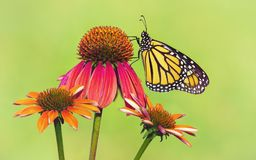 Newly emerged Monarch butterfly on coneflowers. Newly emerged Monarch butterfly Danaus plexippus on red coneflowers in Texas. Natural green background with copy royalty free stock images