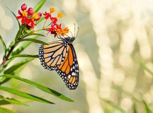 Newly emerged Monarch butterfly on tropical milkweed. Newly emerged Monarch butterfly Danaus plexippus feeding on tropical milkweed flowers royalty free stock image