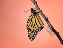 Newly Emerged Monarch butterfly. Newly emerged male Monarch butterfly danaus plexippus and its chrysalis shell hanging on milkweed branch, copy space royalty free stock images