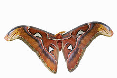 Newly Emerged Moth. This is an image isolated on a white background of a newly emerged Giant Atlas Moth (Attacus atlas). This moth is native to southeast Asia royalty free stock photography