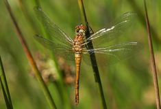 A newly emerged Ruddy Darter Dragonfly Sympetrum sanguineum perching on a reed. royalty free stock photos