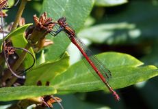 Large Red Damselfly, Pyrrhosoma nymphula. A newly emerged red damselfly on a garden plant stock image
