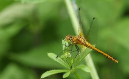 A newly emerged Ruddy Darter Dragonfly Sympetrum sanguineum perching on a plant. A newly emerged stunning Ruddy Darter Dragonfly Sympetrum sanguineum perching stock photo