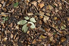 A newly fallen green leaf on dry leaves covered forest ground.  Stock Photos
