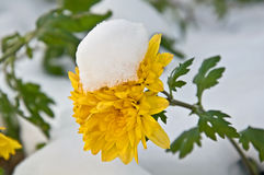 Newly Fallen Snow on Yellow Mum Flower royalty free stock photography