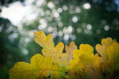 Newly fallen yellow leaves laying on the grass during autumn. In a danish forest stock photo