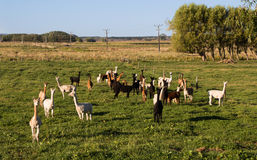 Herd Of Alpacas Royalty Free Stock Photos