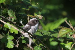 Newly Fledged Long-Tailed Tit (Aegithalos caudatus). This picture shows a baby, newly fledged long-tailed tit against a background of green leaves. This Stock Photography