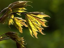 newly formed maple leaves Stock Images
