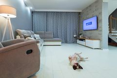 Newly furnished living room with french bulldog. On the floor royalty free stock images