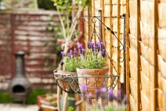 Newly grown french lavender healthy plant in a home relaxing garden spot. Newly grown french lavender in the spring healthy plant in a home relaxing garden spot stock images