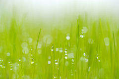 The newly grown grass with dew drops. Royalty Free Stock Photos