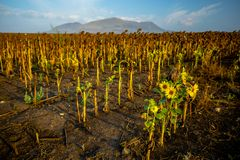 A Newly Grown Small Sunflower in a Field of Dried Ripe Sunflowers stock photo
