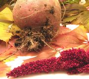 Newly harvested beetroot Stock Images