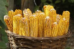 Basket with corn harvest stock images