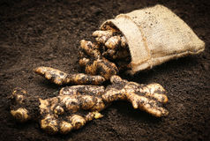 Newly harvested ginger Stock Images