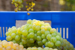 Newly harvested grapes in boxes Royalty Free Stock Photo