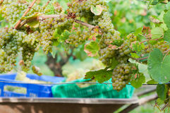 Newly harvested grapes in boxes, in the vineyards Stock Images