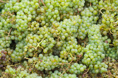 Newly harvested grapes Stock Photos