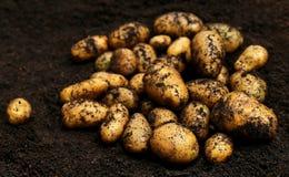 Newly harvested potatoes Stock Image