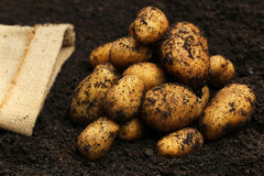 Newly harvested potatoes Royalty Free Stock Images