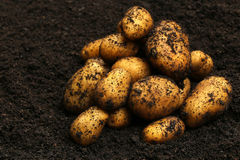 Newly harvested potatoes Stock Photography