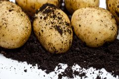Newly harvested potatoes and soil closeup on white background. Fresh organic food top view with copy space stock image