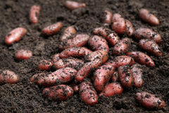 Newly harvested red potatoes Royalty Free Stock Photos