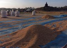 The newly harvested rice drying in the sun in front of the temple. Mrauk-U, Myanmar - February 6, 2016: The newly harvested rice drying in the sun in front of stock photos