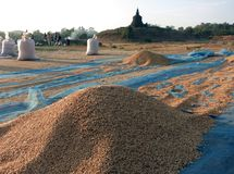 The newly harvested rice drying in the sun royalty free stock photos