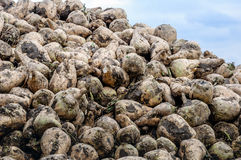 Newly harvested sugar beets in a heap from close Royalty Free Stock Image