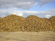 Newly harvested sugarbeet Stock Photography