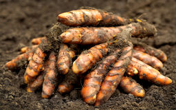 Newly harvested turmeric. Closeup of newly harvested turmeric on farm ground Stock Images
