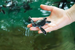 Newly hatched babies turtle. In humans hands at Sea Turtles Conservation Research Project in Bentota, Sri Lanka royalty free stock image