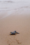 Newly hatched baby Loggerhead turtle. Toward the ocean stock images