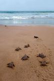 Newly hatched baby Loggerhead turtle stock photo