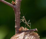 Newly hatched, baby Praying mantis standing on its nest. Side view of a brown, juvenile Praying mantis standing on his nest. The insect is facing left and is at royalty free stock image