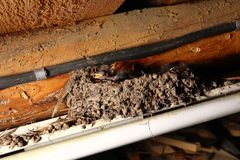 Newly hatched baby swallows in the nest stock image