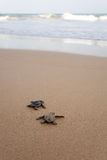 Newly hatched baby turtles. Toward the ocean. Newly hatched baby turtles in a hurry in the watery element Royalty Free Stock Photos