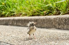 Newly hatched bird standing on a sidewalk royalty free stock images