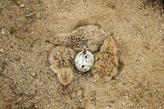 Newly Hatched Black Skimmer Chicks Royalty Free Stock Photography