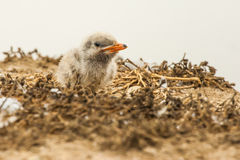 Newly Hatched Caspian Tern Chick Stock Photo