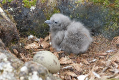 Newly hatched chick and egg South Polar Skua. Stock Images