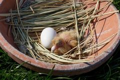 Newly hatched chick pigeon Stock Image