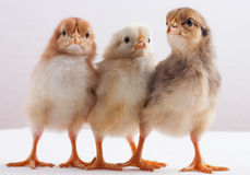 Newly hatched chick Royalty Free Stock Image