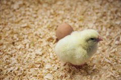 Newly hatched chicks Royalty Free Stock Photography