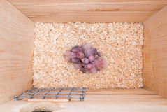 Newly hatched cockatiel birds in a nest box Royalty Free Stock Images